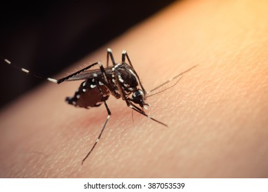 Macro of mosquito sucking blood close up on the human skin. Mosquito is carrier of Malaria, Encephalitis, Dengue and Zika virus , process in vintage style