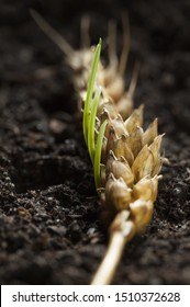 Macro of new germinating wheat seeds growing in old ear, renaissance and regeneration concept
