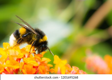 Macro of a Northern white-tailed bumblebee (Bombus magnus) on a lantana flower