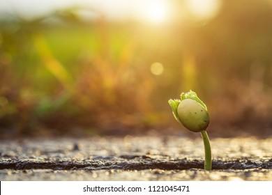 Makro ein grünes, junges Samen von Baum, der aus Rissen von Asphaltstraße wächst. Umweltkonzept