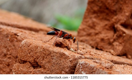 Macro of a orange and black colour Wasp sitting on a bricks - danger of swallowing a wasp in the summer.Wasps, like bees and hornets, are equipped with a stinger. Wasp's stinger contains venom.