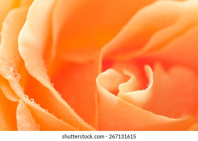 macro of orange rose flower petals