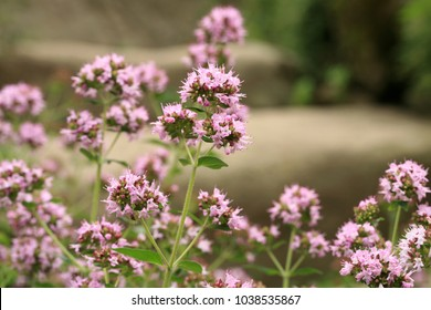 Macro oregano on the stone steps.  Healing plant in a country, rustic garden. Herbs in a home, perennial garden, friendly to insects, especially for bees.
