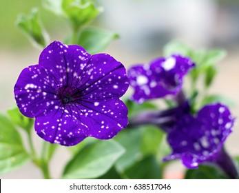 Macro of petunia night sky flower