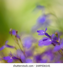 Macro photgraphy of purple lobelia flowers, selective focus with blurred green background, nature wallpaper with copy space