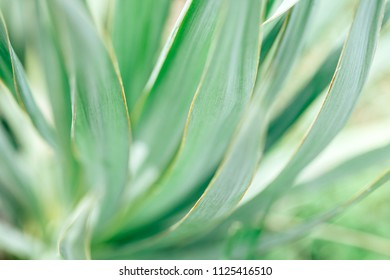 Macro photo of agave leaves. Green tropical pattern
