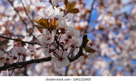 Macro photo of almond tree in blossom with beautiful deep blue sky