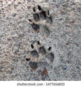Macro photo of an animal paw footprint. Image of dog paw footprint with claw Paw footprint in the sand