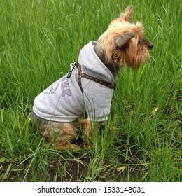 Macro photo animal pet Yorkshire terrier dog. Stock photo dog breed Yorkshire terrier play on garden