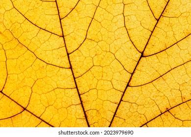Macro photo of Autumn Foliage. Yellow Maple Leaf texture close up.