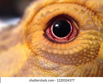 Macro photo of bearded dragon lizard's eye.