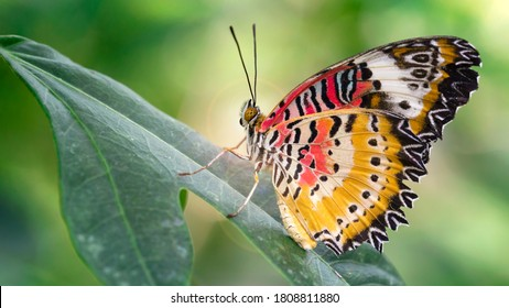 macro photo of a beautiful butterfly with wide multicolored red and yellow wings. gracious and fragile insect from lepidoptera family on a leaf in a tropical botanical garden near Chiang Mai, Thailand