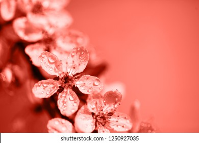Macro photo of beautiful cherry flowers. Living Coral Color of the year 2019. Main trend concept. Natural and authentic mood.