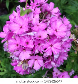 Macro photo of a beautiful flower Phlox. Phlox flower with violet lilac petals. Blooming Phlox grows in the meadow against the background of plants and grass.