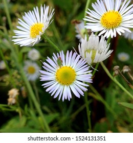 Macro photo of a beautiful flower wild daisy. Daisy flower with white petals. Blooming chamomile grows in the meadow against the background of plants and grass.