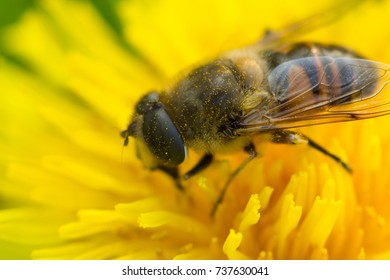 Macro photo of a bee collecting dandelion nectar.