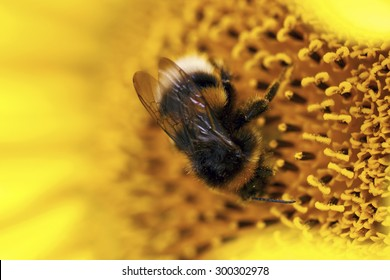 Macro photo of a bee in a sunflower.