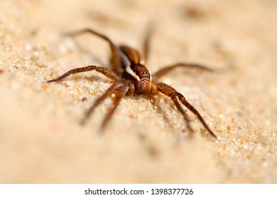 Macro photo of a big shaggy spider on the white sand of a beach