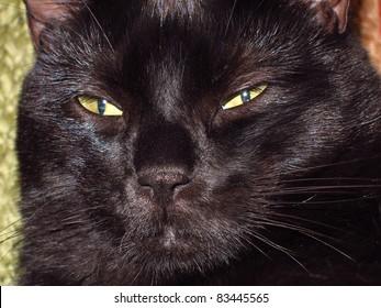 macro photo of a black cat