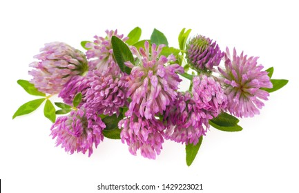 Macro photo blooming red clover flower. Isolate Background. Green clover with pink flowers. Studio photo of flowering clover.