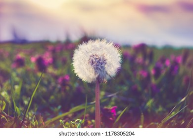 macro photo of blowball flower against sky at sunset retro colors