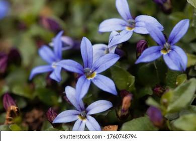 Macro photo of a Blue Star Flower, Isotoma fluviatilis.