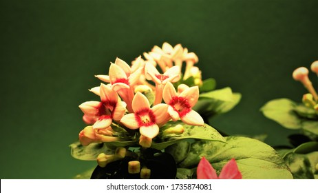 A macro photo of Bouvardia is a beautifully flowering evergreen garden.  Flowers are different, depending on the species. The color palette is diverse, but, as a rule, they are orange-red.