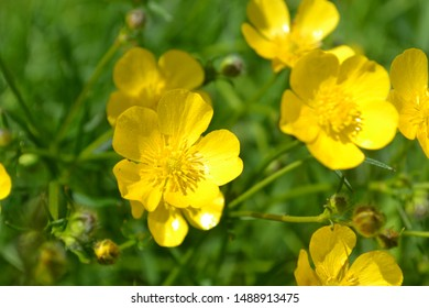 Macro photo of buttercups on the Green blurred background