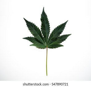 Macro photo of a cannabis plant's leaf isolated on white