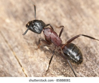 Macro photo of a Carpenter ant, this ant is a major pest on houses