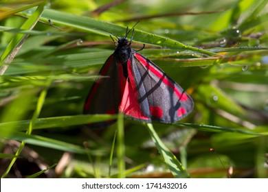 Macro photo of the Cinnabar butterfly at Veeningerplas, Netherlands