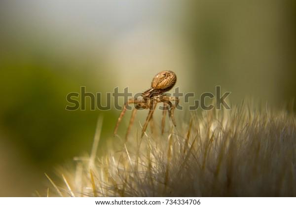 macro-photo-common-crab-spider-600w-7343