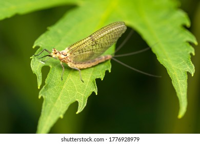 Macro photo. The common mayfly insect warms itself on a green leaf.