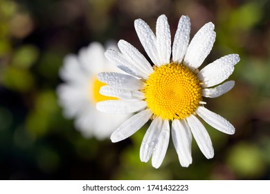 Macro photo of daisy at Veeningerplas, the Netherlands