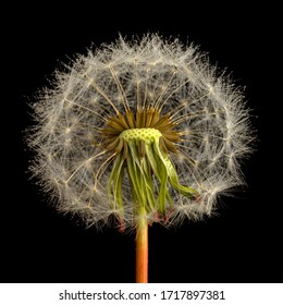 macro photo of dandelion blower