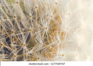 Macro photo of a Dandelion with pastel color tones.