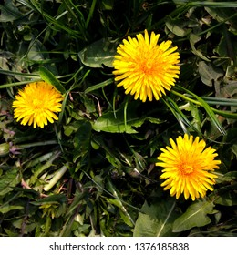 Macro Photo of a dandelion plant. Dandelion plant with a fluffy yellow bud. Yellow dandelion flower growing in the ground