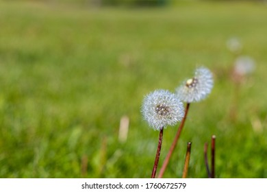 a macro photo of a dandelion that has grown light feather like flowers that are used to help spread it's seeds in the wind currents to reproduce more plants further away