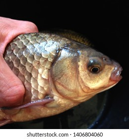 Macro photo fauna live fish carp. Background fish river carp. River carp in hand close up. Gold Carp in lusk side view