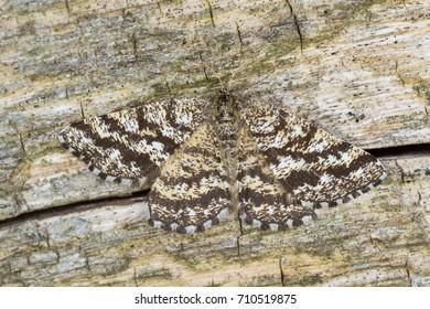 Macro photo of a female common heath, Ematurga atomaria on wood