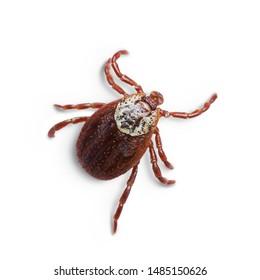Macro photo of a female Ixodic tick crawling isolated on the white background with shadows. Dangerous parasite which spreading terrible diseases like meningitis and borreliose.