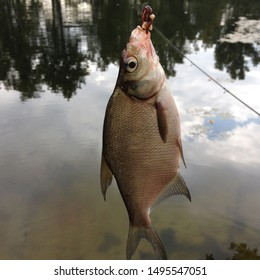 Macro photo fishing bream fish. Caught fish bream hanging on a hook with maggot bait. Catch Bream fish on river background.