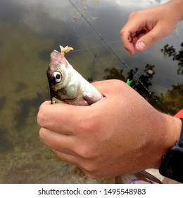 Macro photo fishing bream fish in hand. Caught fish bream hanging on a hook with maggot bait. Catch Bream fish on river background. Bream fish in hand