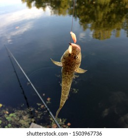 Macro photo fishing goby fish. Caught fish goby hanging on a hook with maggot bait. Catch goby fish on river background.