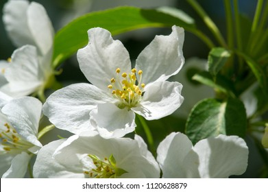 Macro photo, flowers of apple.The Flowering Crab Apple Tree is one of the most beautiful decorative trees. Crab Apple Trees have pretty flowers in the spring and gorgeous little apples in the autumn