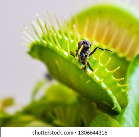 A macro photo of a fly which has been caught inside a venus fly trap plant