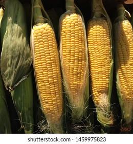 Macro Photo food vegetable sweet raw ear corn. Texture background of fresh yellow corns. Image vegetable product big sweet maize corns