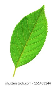 Macro photo of fresh green leaf isolated on white