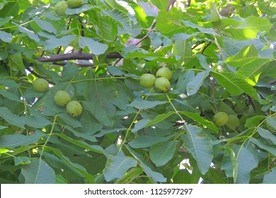 macro photo of fresh green young fruits of walnut on a tree branch with leaves on blue sky background as the source for design, printing, advertising, photo shop, decorating