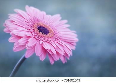Macro photo of gerbera flower. Natural background.
